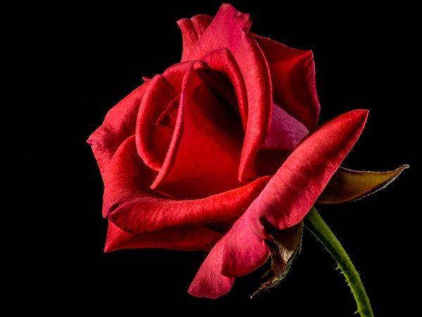 Une rose rouge en gros plan sur un fond noir
