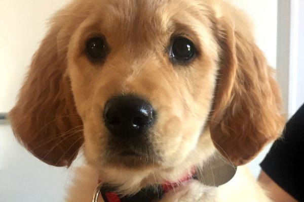 Ohara, jeune golden retriever et futur chien guide de l'Association du Grand Sud Ouest