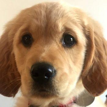 Ohara, futur chien guide d'aveugle à Toulouse
