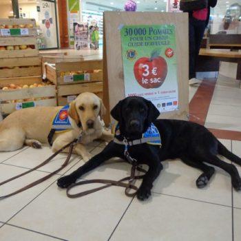 Deux chiens guides devant les stands de vente de pommes