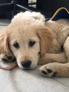 Pongo est couché sur le sol la tête posée sur ses pattes avant.