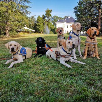 6 chiens guides ou élèves chien guide sont couchés ou assis dans l'herbe