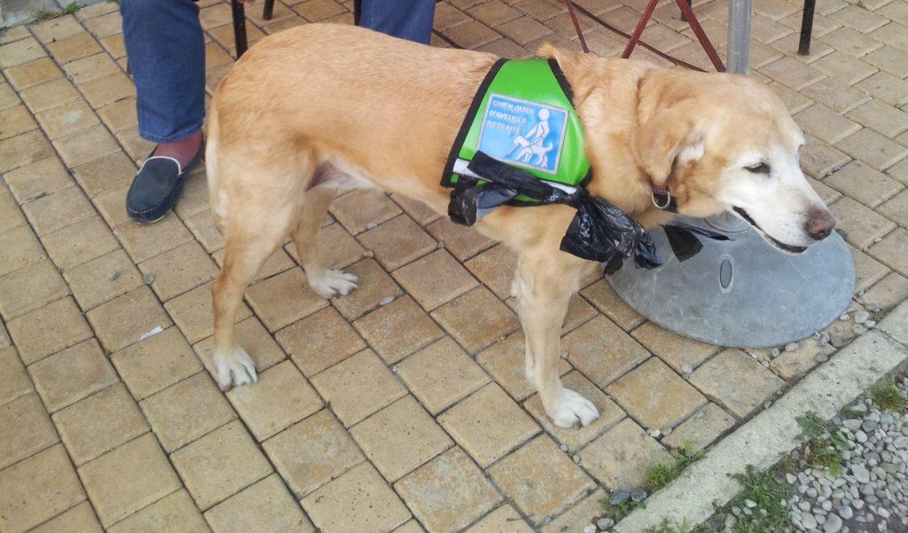 Cadence, chien guide retraité portant son gilet vert