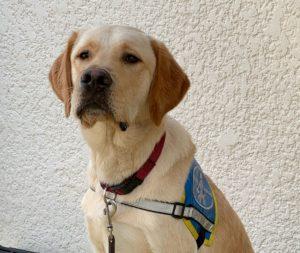 Raffy assis fièrement dans la cour de l'Association. Il porte son gilet d'élève chien guide