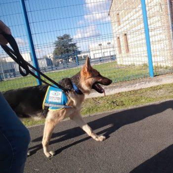 Raya en train de marcher en laisse, très concentrée. Elle porte son gilet délève chien guide