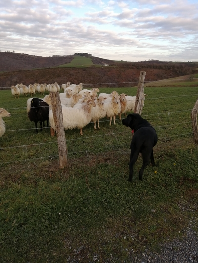 River s'approche d'un pré cloturé. Un groupe de moutons le regarde.