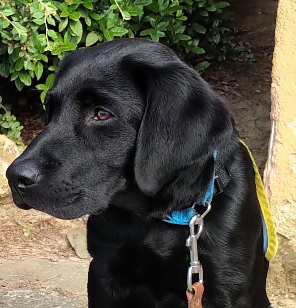 Sky, labrador noir, légèrement de profil
