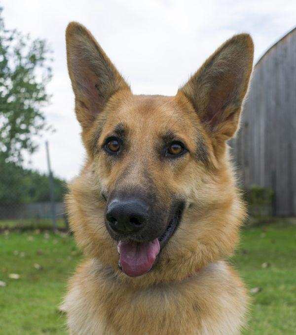 Raya, berger allemand, de face les oreilles bien dressées